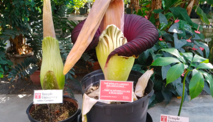 Ultra-rare corpse flower blooms at Temple University for the first